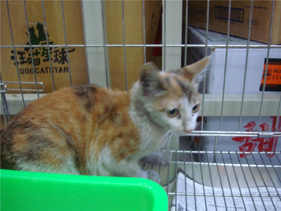 【新北市】板橋區公立動物之家開放領養資訊:三花色母貓