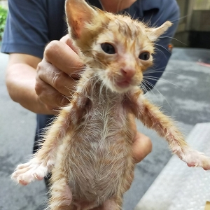 【桃園市】動物保護教育園區開放領養資訊:虎斑色公貓