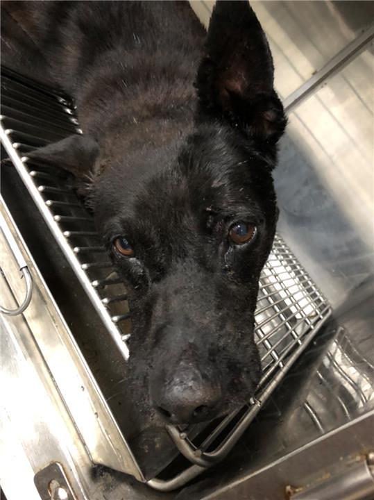【新北市】政府動物保護防疫處開放領養資訊:黑色公狗