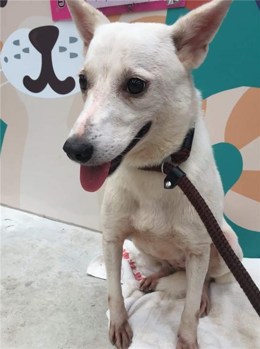 【新北市】新店區公立動物之家開放領養資訊:白色母狗