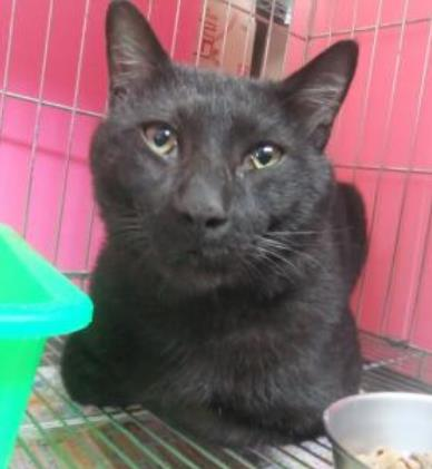 【新北市】板橋區公立動物之家開放領養資訊:黑色公貓