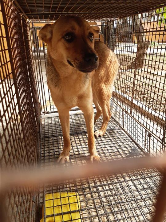 【澎湖縣】流浪動物收容中心開放領養資訊:黃色母狗